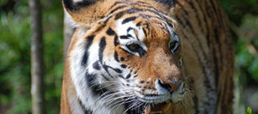 320px-Tiger-zoologie_de0001_22