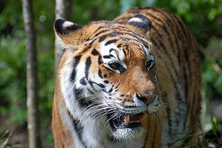 Tiger, symbol of healthy defensive responses