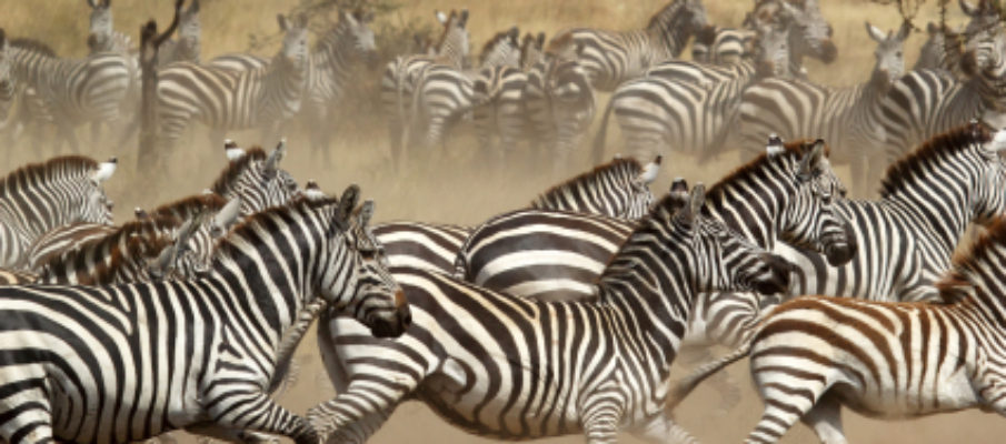 Herd of zebras in flight